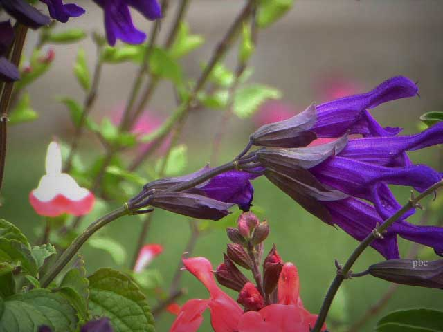 Salvia-black-and-blue-one