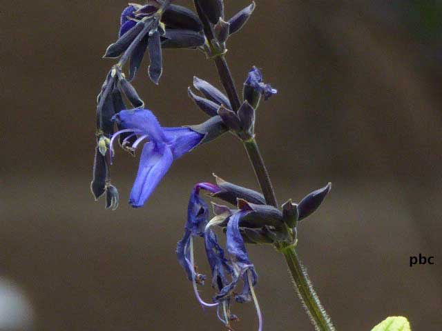mystic-blue-salvia