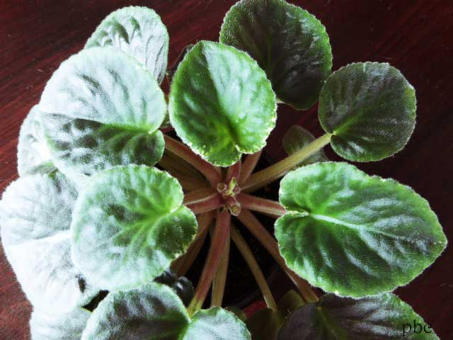 African-violet-picked