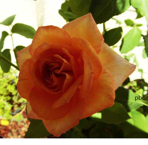 Magic-Lantern-Rose-1