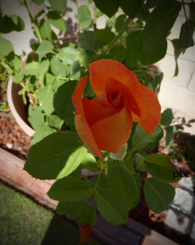 Magic-Lantern-Rose-2