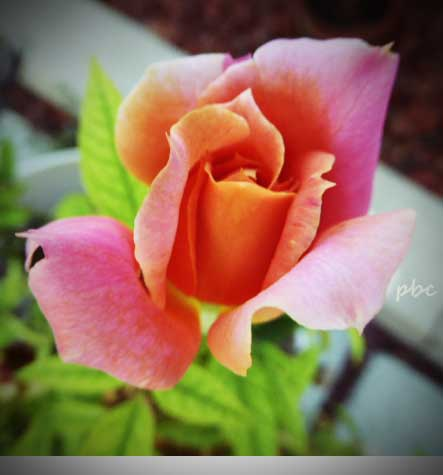 orange-apricot-blend-Disneyland-floribunda-rose