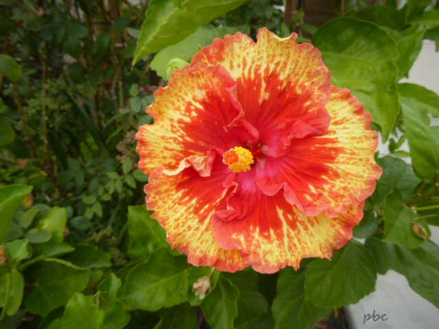 Yellow-and-orange-hibiscus