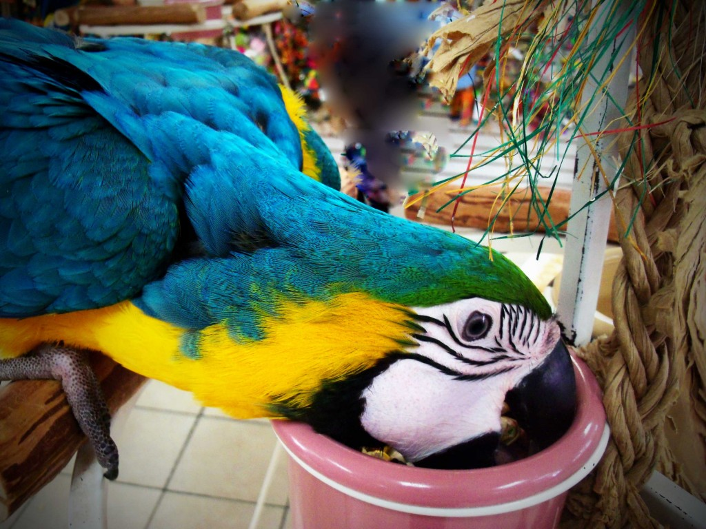 Blue-Macaw-Parrot