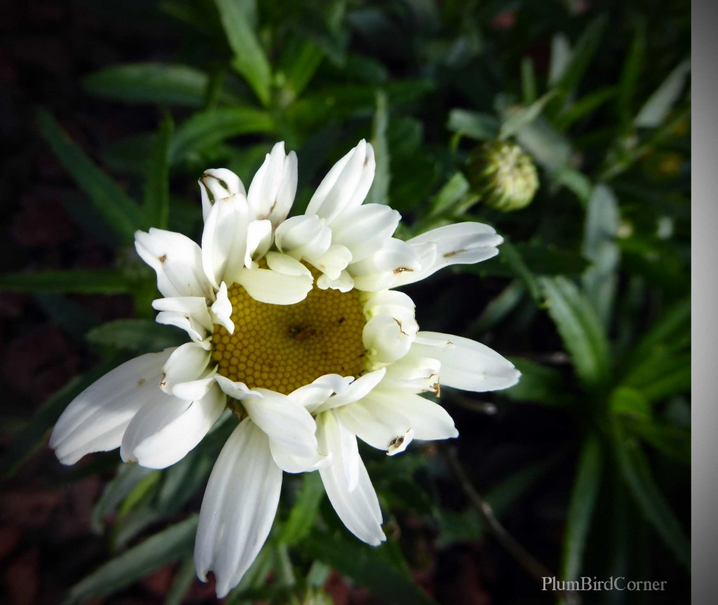 First-Shasta-Daisy