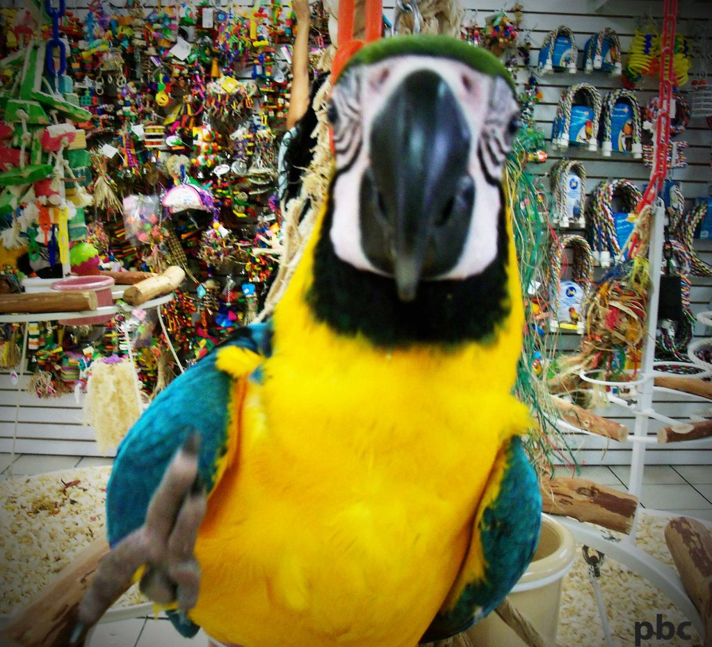 Macaw-parrot-2