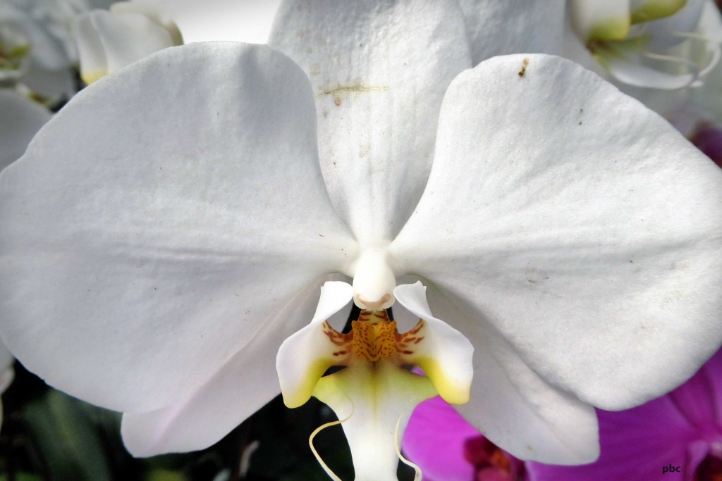 White-orchid-blossom