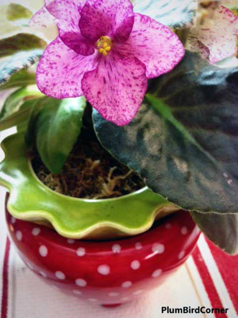 African-Violet-in-Strawberry-Pot