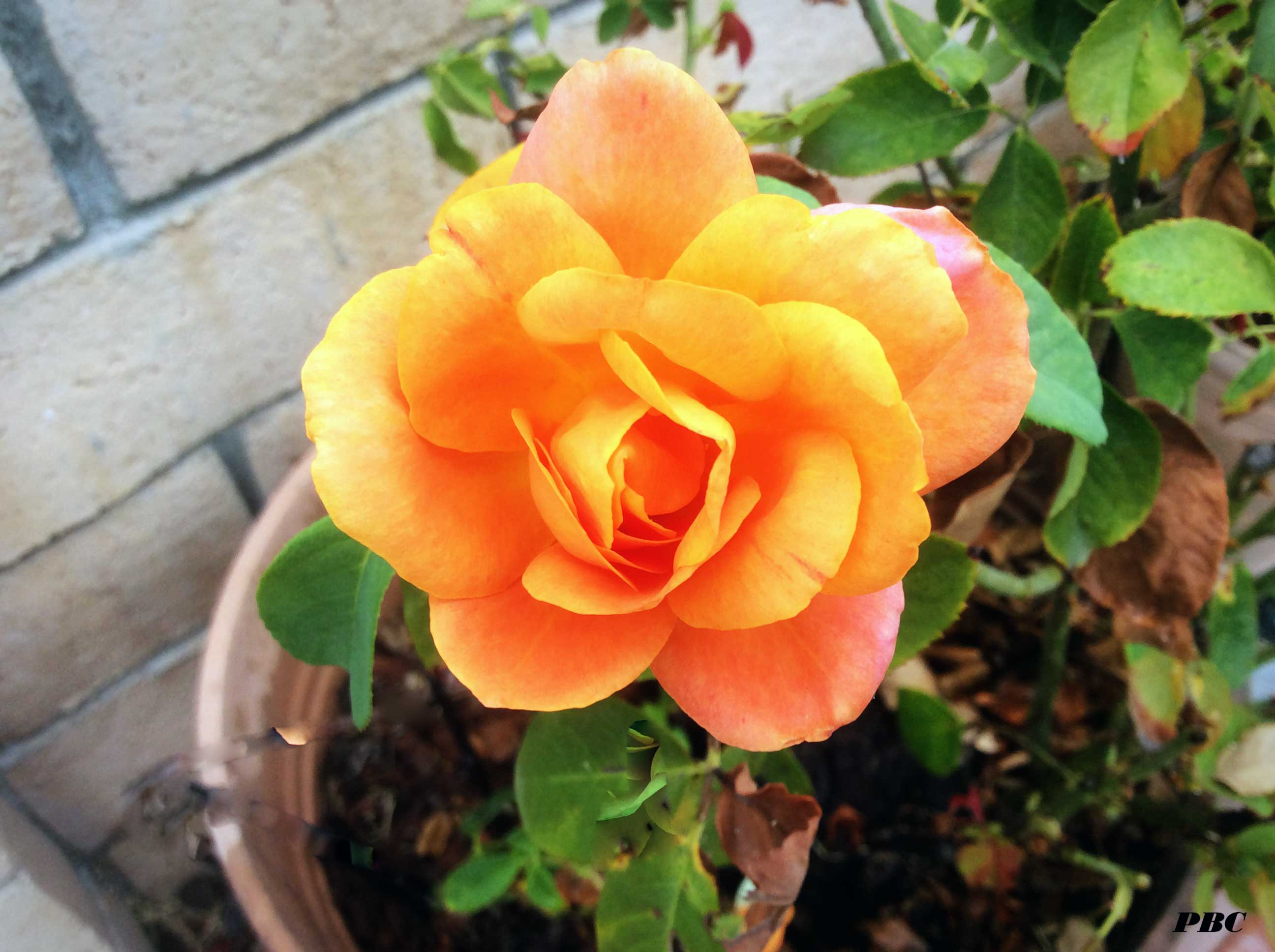 Magic-Lantern-Tea-Rose