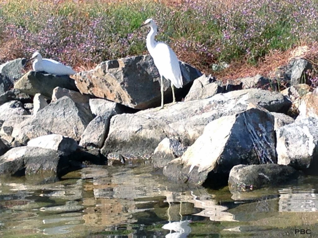 Egrets on Lake Mission Viejo