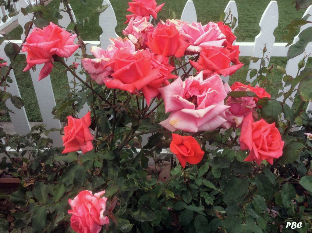 Pink-Roses on white picket fence